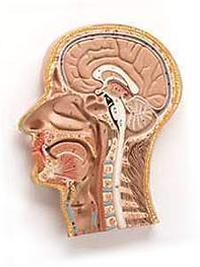 Head & Neck & Brain Median Section