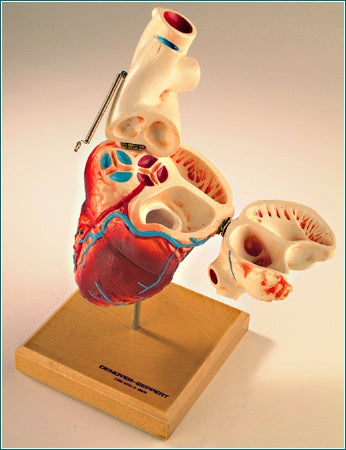 Heart Model 4-Sections, Open Chambers, Pulmonary Valves