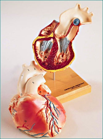 Heart Model 2-Sectioned Through 4 Chambers