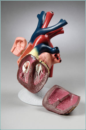 Heart Model With Major Blood Vessels, Open Chambers