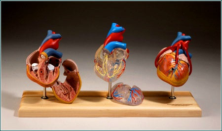 Heart Model Cardiovascular System 3 Hearts