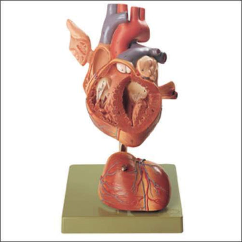 Heart Musculature Blood Vessels 4 Part, Twice Life-Size