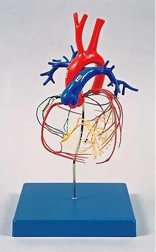 Heart Conducting System And Coronary Arteries