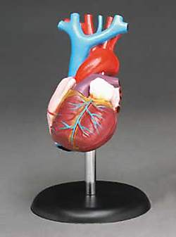 Heart Model Life-size 2 Part