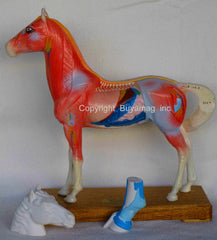 Horse Acupuncture Muscle Internal Tissue Structure Model