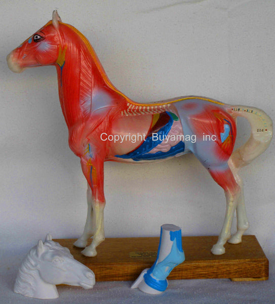 horse acupuncture poins