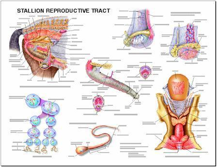 Stallion Reproductive System