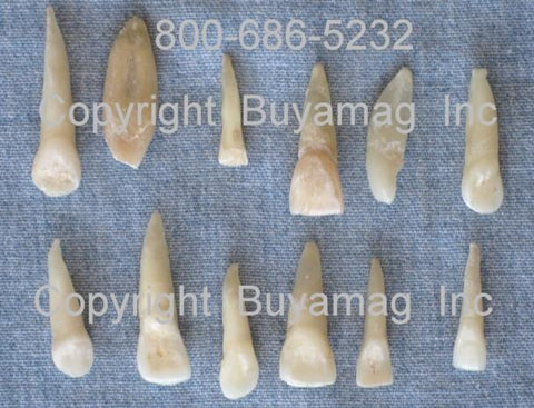 real human teeth incisors