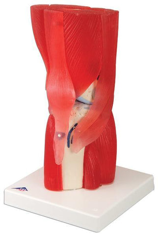 Knee Muscle Joint Model Academy 12 Parts