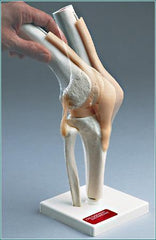 Knee Functional Joint Articulated Ligaments