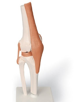 Knee Joint Functional Model