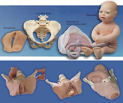 Replacement  Fetal Model