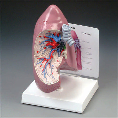 Lung Model Life-Size Right Site