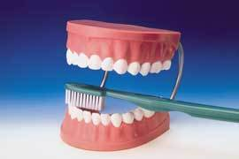 Dental Brushing Model With Brush Deluxe