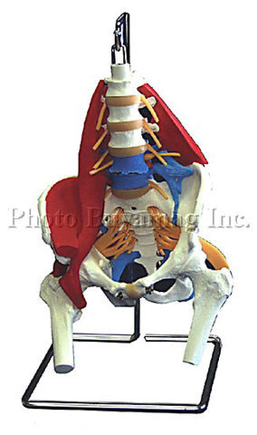 Deluxe Lumbar Vertebral Column With Muscles