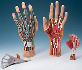 Hand Model & Internal Structure Muscles Tendons Ligaments Arteries 3-Part