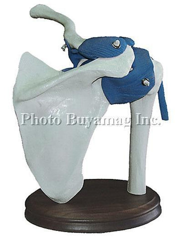 Shoulder Joint With Ligaments Functional Model