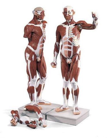 Muscular Model Figure 37-Parts