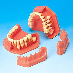 Orthodontic Eruption Models