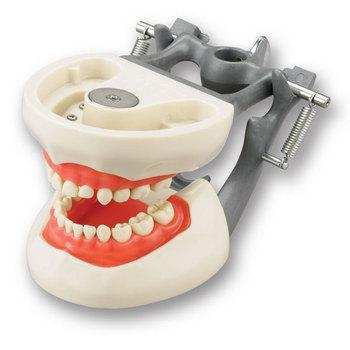 Dental Pedodontic Model Child Typodont 24 Removable Teeth