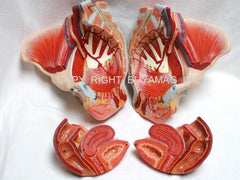 Pelvis Female, Male Pelvis, Muscles, Nerves, Ligaments, Vessels, Female Organs, Soft Tissue - Deluxe Model 4 Parts