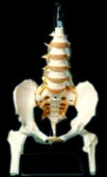 Pelvis Sacrum Coccyx Illums Femur Heads Spinal Nerve On Flexible Rod Stand Included
