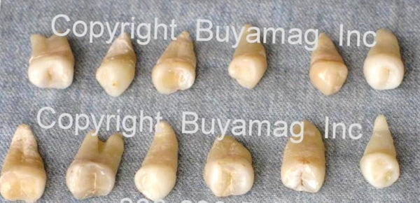 human real premolar teeth