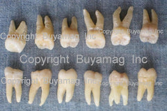 human real teeth sale