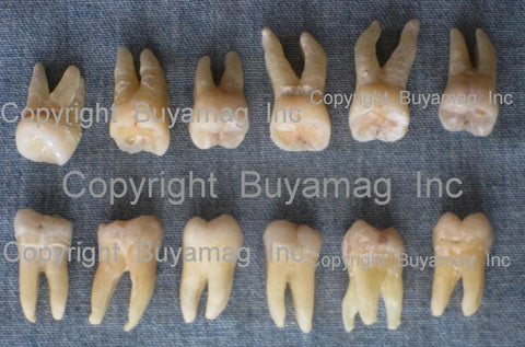 human real teeth for sale molars
