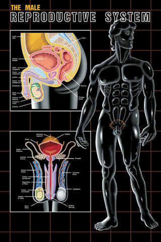 Male Reproductive System Poster Chart