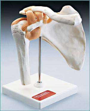 Functional Shoulder Joint Model
