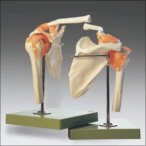 Shoulder Joint Functional Model