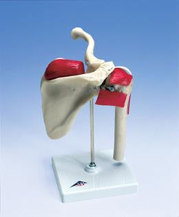 Sports Shoulder Joint Model