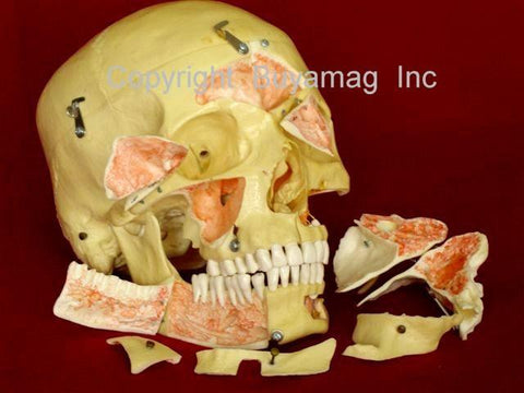 Dental, Neurology, Sinus Skull Model Deluxe  14 Sections