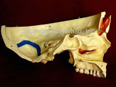 Dental Skull Model Neurology Sinus 14 Sections