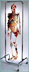 Skeleton Model Deluxe With Internal Organs, Muscles Nerves, Ligaments