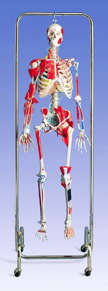 Skeleton  Model Orthopedic Academy Professional Functional Joints, Ligaments Deluxe