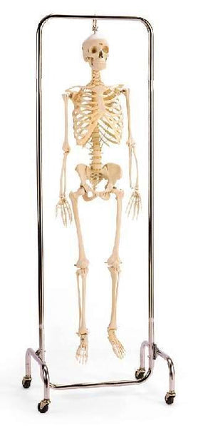 Not Painted X-Ray Opacity Skeleton