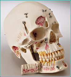 dental skull education