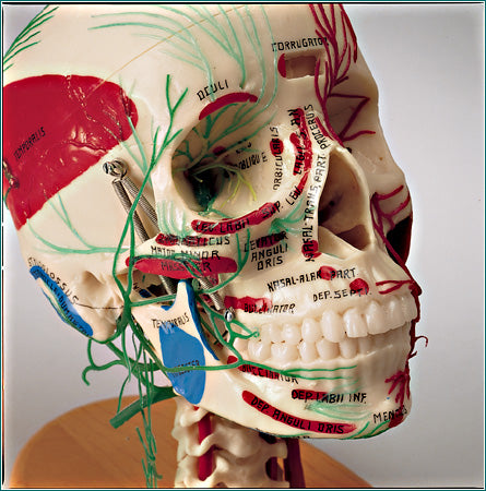 Skull Brain Model Arteries Nerves Muscles Cervical