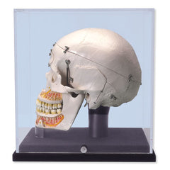 Dental Skull Model With Display Case Deluxe Academy  Dental Skull Academy &