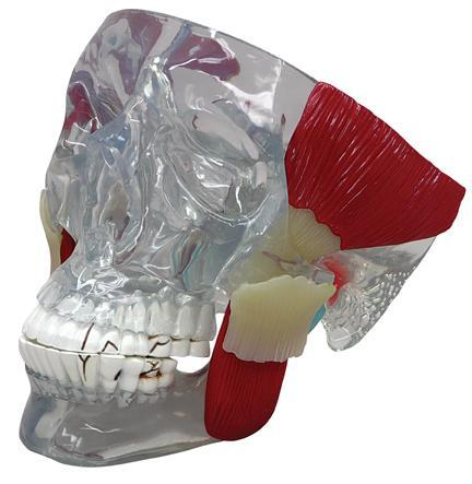 Skull TMJ Temporomandibular Joint Skull With Teeth Model