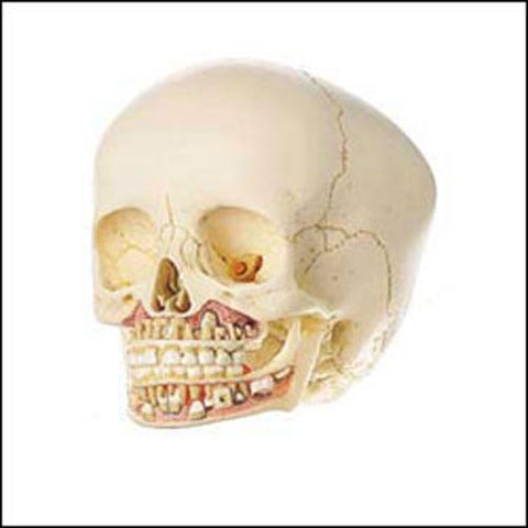 Dental Skull With Second Dentition 6-Year Old Child Model