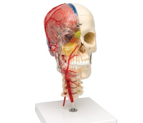 Neurovascular Skull Model  Artheries  Periodontal Sockets On Cervical 7-Part  Didactic  Academy  Deluxe