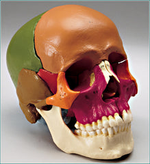 Skull Model 14 Parts  Academy Classic Anatomical Model