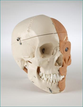 skull model anatomical model