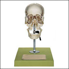 Skull Educational Model 22 Part Disarticulated