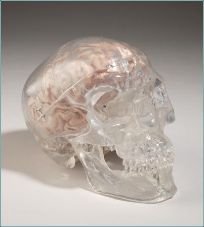 skull model see through