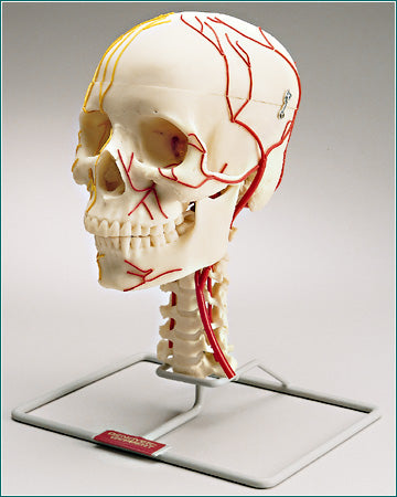 Skull Neurovascular Cranial Nerves Arteries Academy Education