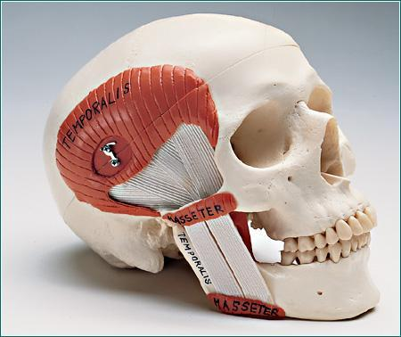 TMJ Skull Musticator Muscles Demonstration Functional 2 Part